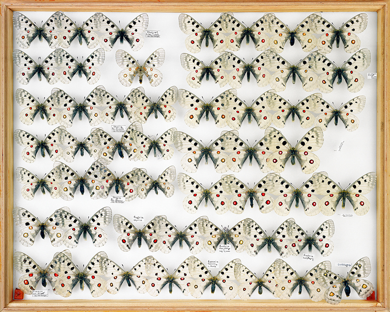 papillons Apollos Poquelle