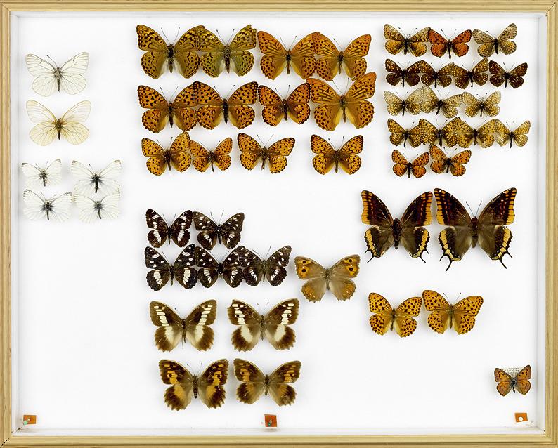 papillons Erdbeerzipfel