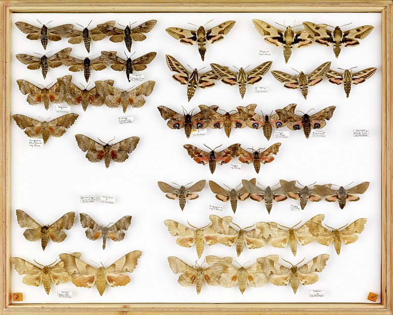 papillons Liguster