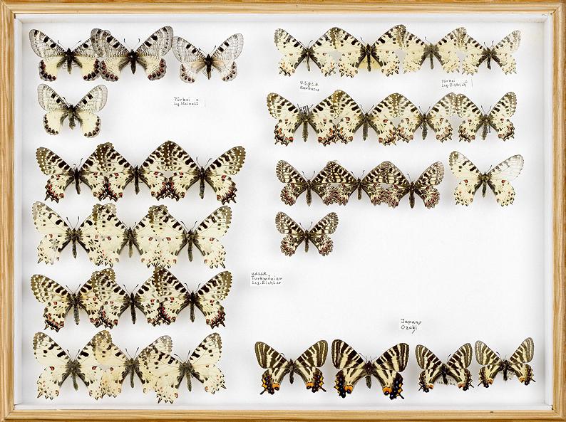 papillons Osterluzei 2
