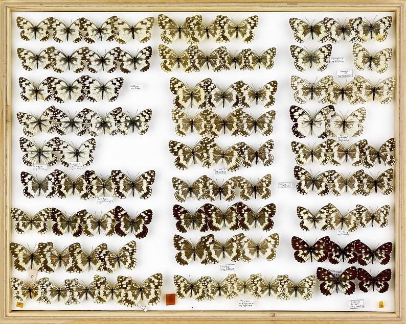 papillons Schachbretter