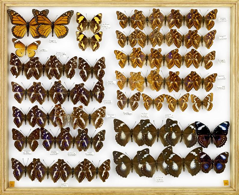 papillons Schillerfalter