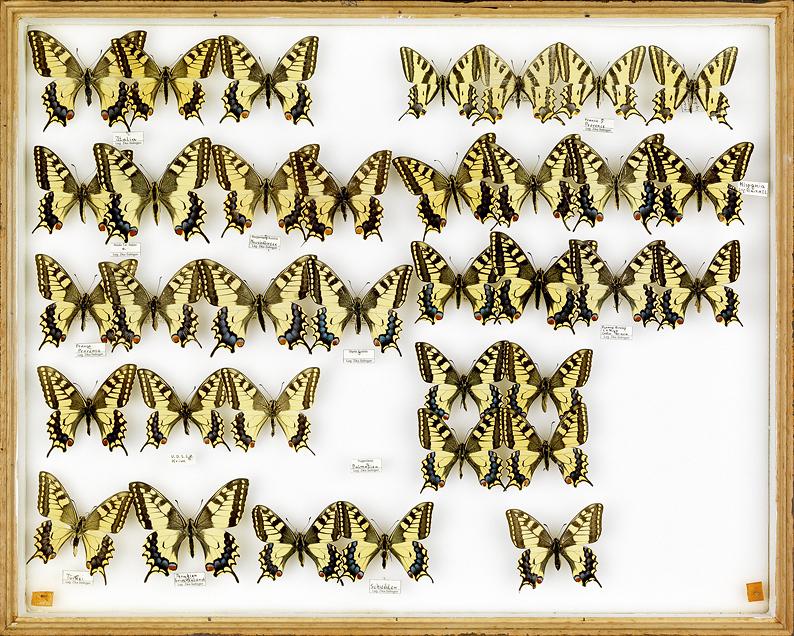papillons Schwalbenschwanz