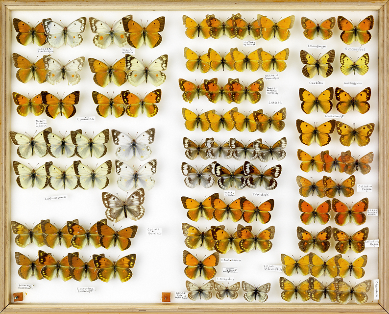 papillons Colias rot