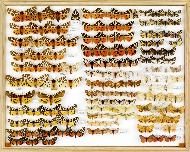 papillons Spanische Flagge